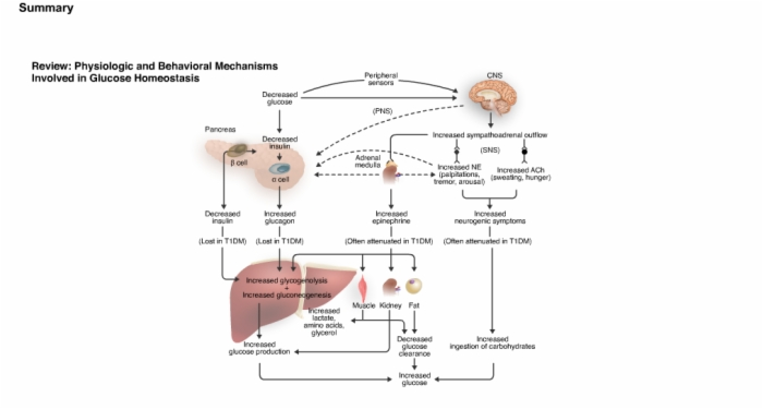 Diabetes_Anatomy_and_Physiology