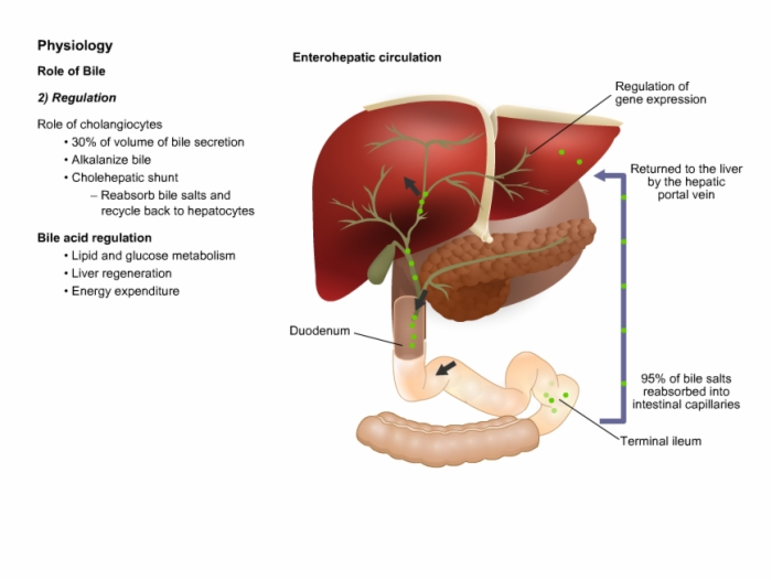 Anatomy and Physiology of Liver and Overview of Liver Diseases